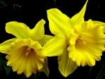 Two yellow daffodils flowers