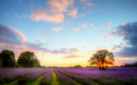 Lavender Field - art, lavender, abstract, field