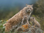 Bobcat and cubs