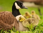 Goose mother