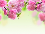 Spring Blossoms