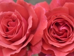 two amazing roses