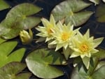 yellow waterlily pond