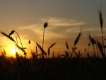 Sunset at wheat field