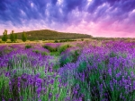 Purple Sky over Lavender Field