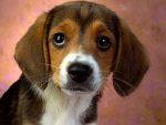 beagle good pet  also good hunting dog