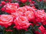 Roses Gerden