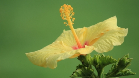 Yellow Hibiscus Flowers Nature Background Wallpapers On Desktop