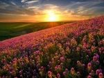 Mountain Flowers in the Sunset
