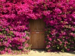 pink bougainville