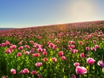 pink poppies field