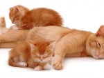 Ginger cat with sleepy kittens