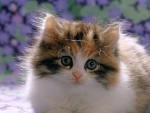 Cute fluffy Calico kitten