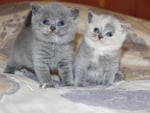 British Shorthair Bengal Kittens