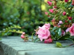 Bushes of pink roses