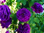 Purple Roses at Butchard's Garden