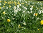 lovely daffodils field