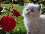 fluffy in the rose garden