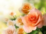 lovely pink garden roses