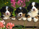 Burmese Mountain Dogs