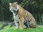 Chubby Tiger