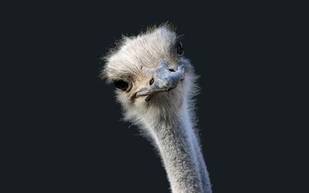 Hello !!! - sensual, joke, wonderful, stunning, adorable, nice, feather, beauty, face, lovely, birds, black, curious, collage, cute, ostrich, cool, awesome, great, eyes, ostriches, head, beautiful, elegant, africa, picture, animal, photography, actress, wild, grey, hello, hot, other, feathers, animals, amazing, babe, female, romantic, model, fun, smile, mysterious, beautiful eyes, girl, bird, beak, funny, looking, autruche