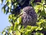 Resting Owl