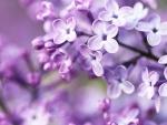 Spring_Lilac_Bloom