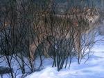 Wolves hiding