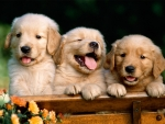 THREE CUTE PUPPIES