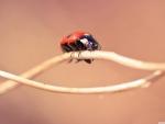 Ladybug on a twig macro