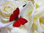 Butterfly on White Roses