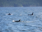 Orcas off Vancouver Island.