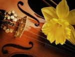 Daffodil on Violin