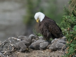 Eagle's Chicks