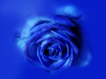 Exquisite blue rose!