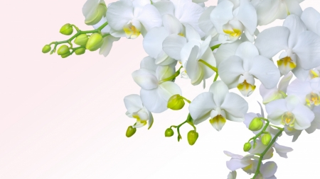 Orchid - flowers, soft, tenderness, orchid