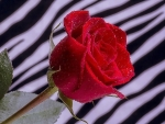..Red Rose with Stripes..