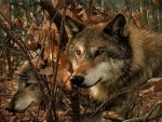 Wolves In Fall