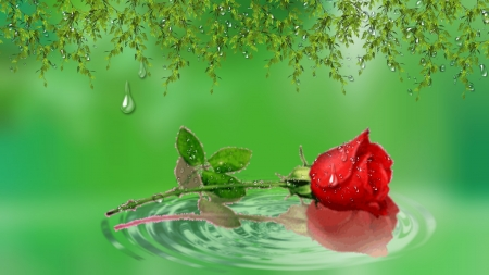 Water Drops On Red Rose Flowers Nature Background Wallpapers