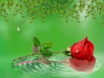 ~*~ Water Drops on Red Rose ~*~