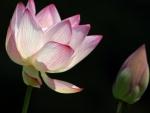 Lotus & Bud