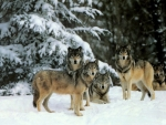 *Pack of wolves*