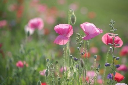 Pink Poppies - blossoms, petals, buds, field