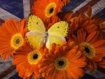 Butterfly on Orange Gerbera