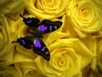 Butterfly on Yellow Roses