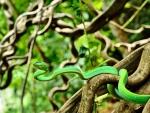 Asian Whip Snake