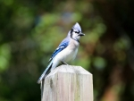Beautiful Blue Jay Resting