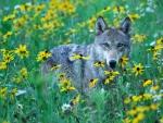 Wolf in Summerfield
