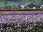 Flower Field Near Sapporo, Japan